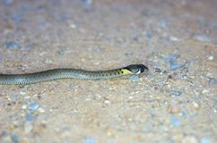 Snake resting on the ground. Anterior part of young keelback snake resting on the ground Royalty Free Stock Images