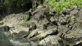 Snake resting on the rocky shore of the Illinois River in eastern Oklahoma. A snake sunning itself on the shore. Large rocks and smaller pebbles line the shore stock photo