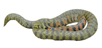 Snake Rhabdophis tigrina 20 Royalty Free Stock Photography