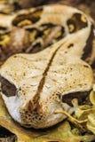 Snake rhino Stock Image