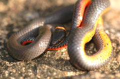 snake ringneck prerii Obrazy Royalty Free