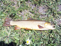 Cutthroat Trout. Snake River Cutthroat Trout in the grass after being caught before being returned to the water royalty free stock photo