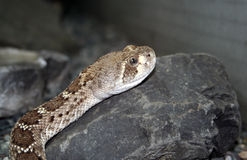 Snake on a rock Royalty Free Stock Photography