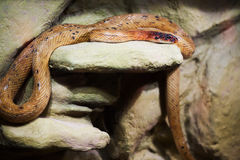 Snake on a rock Stock Photo