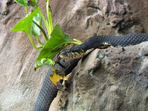 Snake on the rock. Grey snake on the rock Royalty Free Stock Image
