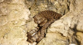 Snake in the rocks. Brown snake in the rocks close up Stock Photo
