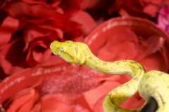 Snake in the roses. Yellow snake over a red roses Royalty Free Stock Images