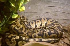 Snake Royal Python Stock Image