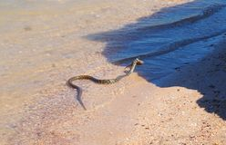 Snake`s dinner at Azov sea stock images