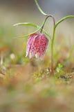 Snake s Head Flower Fritillaria meleagris. Royalty Free Stock Photo