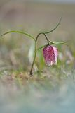 Snake s Head Flower Fritillaria meleagris. Snake s Head Flower Fritillaria meleagris Stock Photo