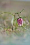 Snake s Head Flower Fritillaria meleagris. Stock Photo