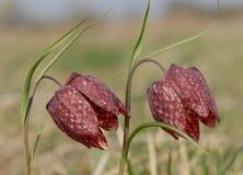 Snake's head flower (Fritillaria meleagris) Royalty Free Stock Photo
