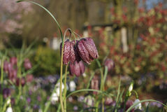Snake`s head Fritillaria meleagris chequered flowers. royalty free stock images