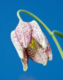 Snake's Head Fritillary Stock Images