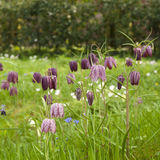 Snake's Head Fritillary. Square image of field with Snake's Head Fritillary Stock Photography