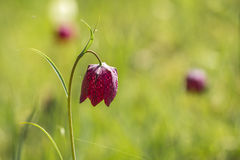 Snake's head fritillary flower royalty free stock image