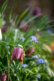 Snake`s Head Fritillary flowers growing wild in the grass, in the area outside Eastcote House Gardens, London UK