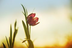 Snake`s head fritillary Fritillaria meleagris or chequered daf Royalty Free Stock Images