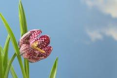 Snake`s head fritillary Fritillaria meleagris or chequered daf Stock Photos