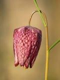 Snake`s head fritillary Fritillaria meleagris chess flower Stock Image