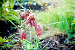Snake's Head Fritillary, Fritillaria meleagris. In garden Royalty Free Stock Photo