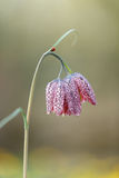 Snake's head fritillary (Fritillaria meleagris) Stock Photo