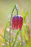 Snake's Head Fritillary (Fritillaria meleagris) with the morning Stock Photo