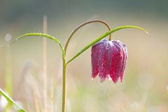 Snake's Head Fritillary (Fritillaria meleagris) with the morning dew Royalty Free Stock Photo