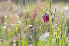 Snake's Head Fritillary (Fritillaria meleagris) with the morning dew Royalty Free Stock Photography