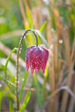Snake's Head Fritillary (Fritillaria meleagris) with the morning dew Royalty Free Stock Photos