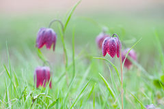 Snake's Head Fritillary (Fritillaria meleagris) with the morning dew Stock Image