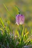 Snake's Head Fritillary (Fritillaria meleagris) Royalty Free Stock Image
