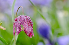 Snake's head fritillary (Fritillaria meleagris)  with slug damage Royalty Free Stock Photos
