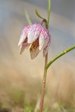 Snake`s Head Fritillary - Fritillaria meleagris. Two Flowers Royalty Free Stock Photography