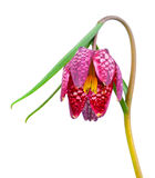 Snake`s Head Fritillary - Fritillaria meleagris. On white background Stock Photography