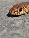 Snake's head Royalty Free Stock Images