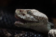 Snake. A snake with it`s mouth open and body coiled stock image
