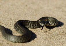 A snake on sand Royalty Free Stock Photo