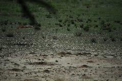 Snake in savannah in namibia. A snake in savannah in namibia royalty free stock photo