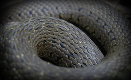 Snake scale Royalty Free Stock Image