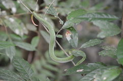 Snake. Seen in the woods, Thailand Stock Image