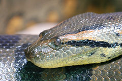 Snake   (Serpentes) Stock Images