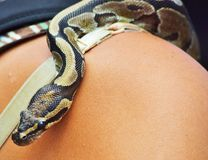 Snake on a shoulder. A black yellow beige snake on a women's shoulder with eyes that are black stock photo