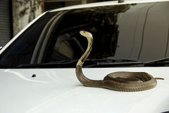 Snake Siamese cobra on the lid front hood car Royalty Free Stock Photography