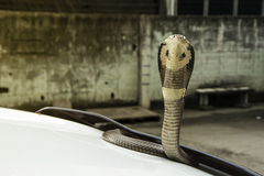 Snake Siamese cobra on the lid front hood car Royalty Free Stock Image
