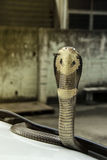 Snake Siamese cobra on the lid front hood car Stock Image
