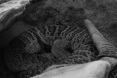 The snake skeleton head skeleton death snake bone skull background animal black white isolated Stock Image