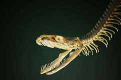 Snake Skeleton Stock Images
