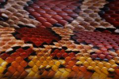 Snake Skin. Close up of the scales on the skin of a Cornsnake Stock Image